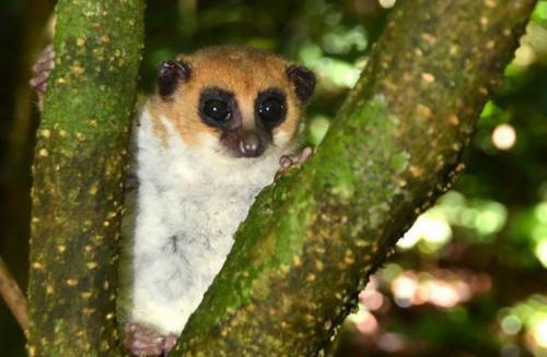 madagascar-Madagascar, un lémurien nain découvert