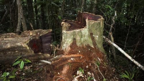 madagascar-Singapour: ouverture du procès du trafic de bois de rose de Madagascar
