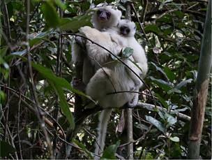 madagascar-Madagascar subira une perte de 30% de ses espèces avant la fin du XXIè siècle si l'homme poursuit son entreprise au rythme actuel