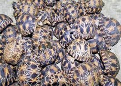 madagascar-Trafic de tortues de Madagascar : Un consultant international et un gendarme écroués
