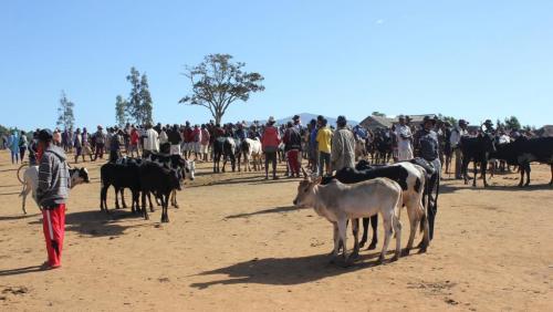 madagascar-Fin du bras de fer entre éleveurs de zébus et autorités